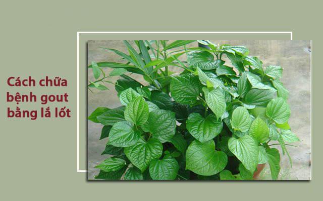 Tác dụng của lá lốt trong việc chữa bệnh gout