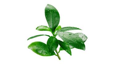 Chiết xuất lá Chanh lim thơm