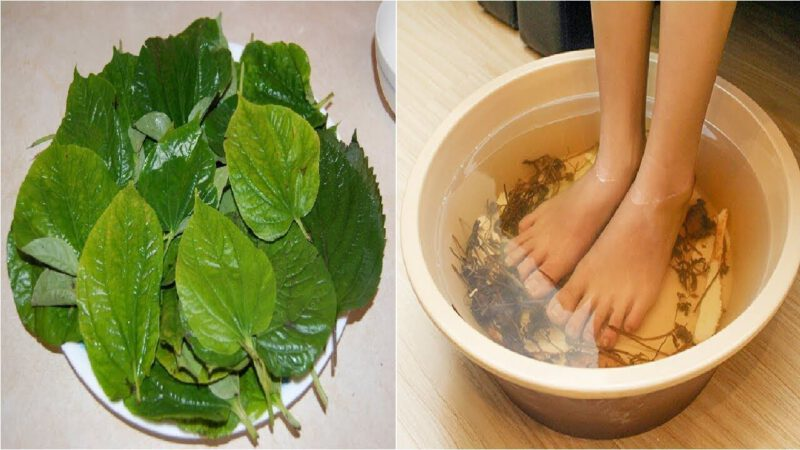 Ngâm chân bằng lá lốt giúp chữa trị bệnh gout hiệu quả